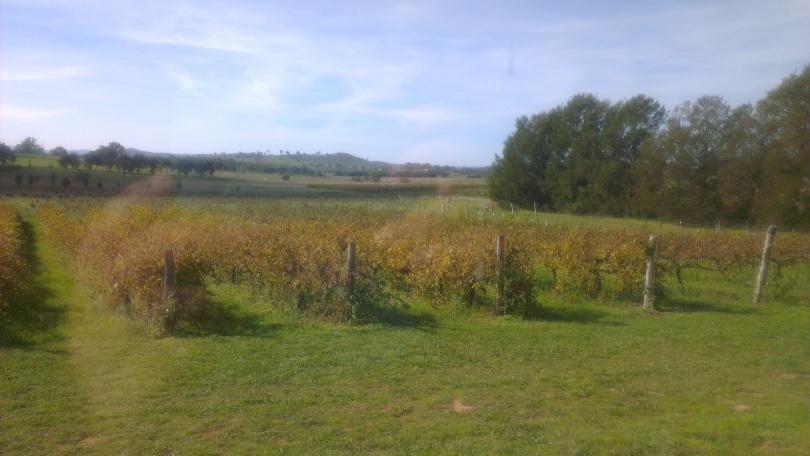 Vines near Clonakilla winery