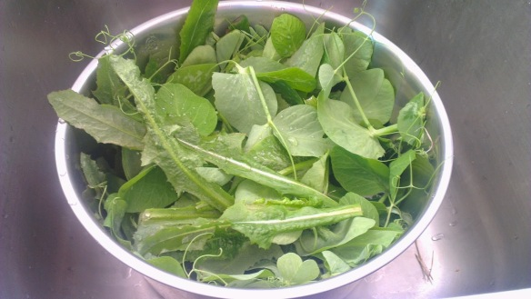 Washing a collection of fresh-picked snow pea tendrils and dandelion leaves