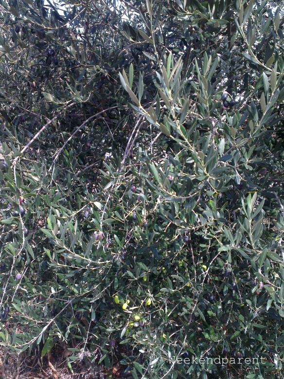 One of my olive trees