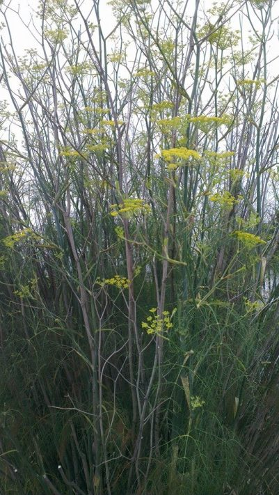 A clump of wild fennel growing by the roadside