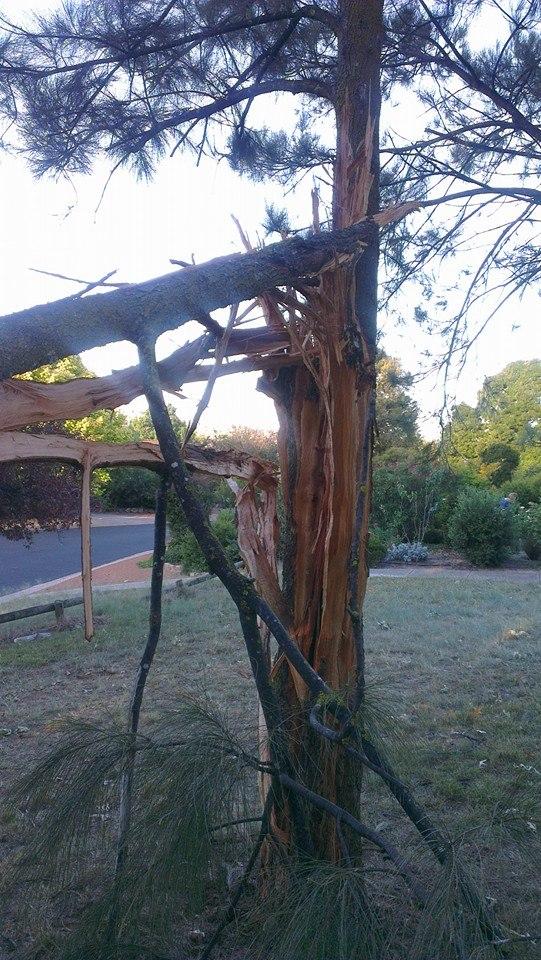 A tree split by lightning