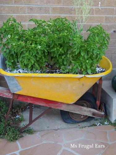 My wheelbarrow full of basil.