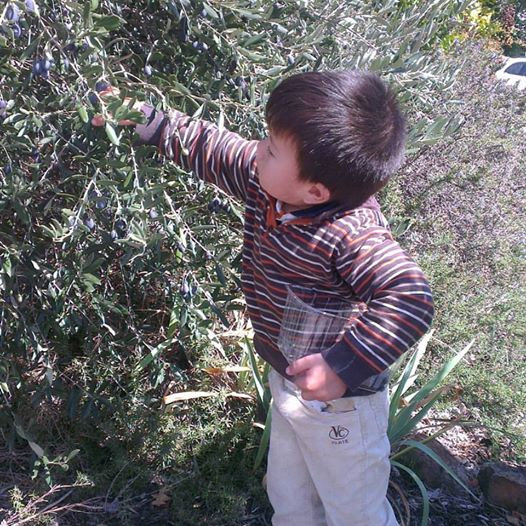 A young child picking olives