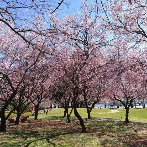 Picture of cherry blossoms
